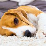 25 Fascinating Lemon Beagle Facts