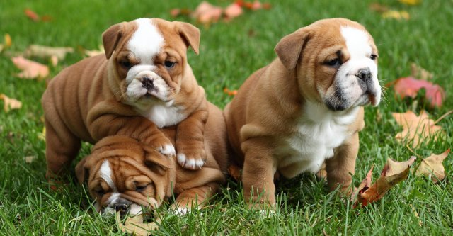bulldog breeds - which make the very best pets?