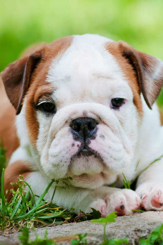 how much is a baby english bulldog - goldenacresdogs