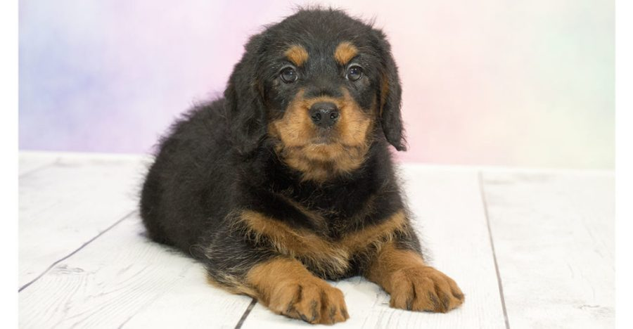8. Chó Rottweiler lai Poodle (Rottoodles)