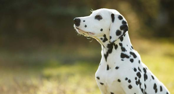 Image result for dalmatians