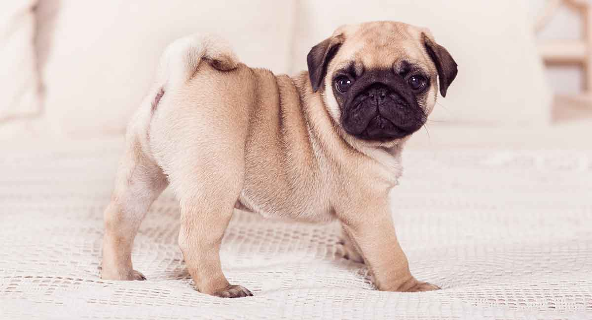 Miniature Pug Could This Be The Chug You Always Wanted