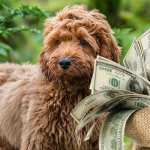 Cockapoo Price How Much To Expect To Pay For Your Puppy