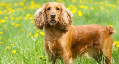 The English Cocker Spaniel - A Complete Guide To This Energetic Breed