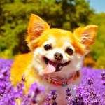 Chihuahua Names 300 Adorable Chihuahua Dog Name Ideas