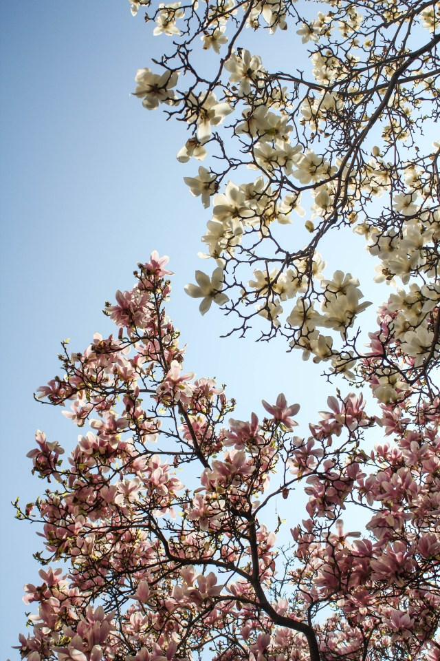 Magnolias in Lyon, France