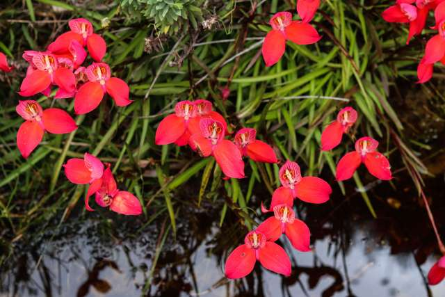 Red Disa Table Mountain
