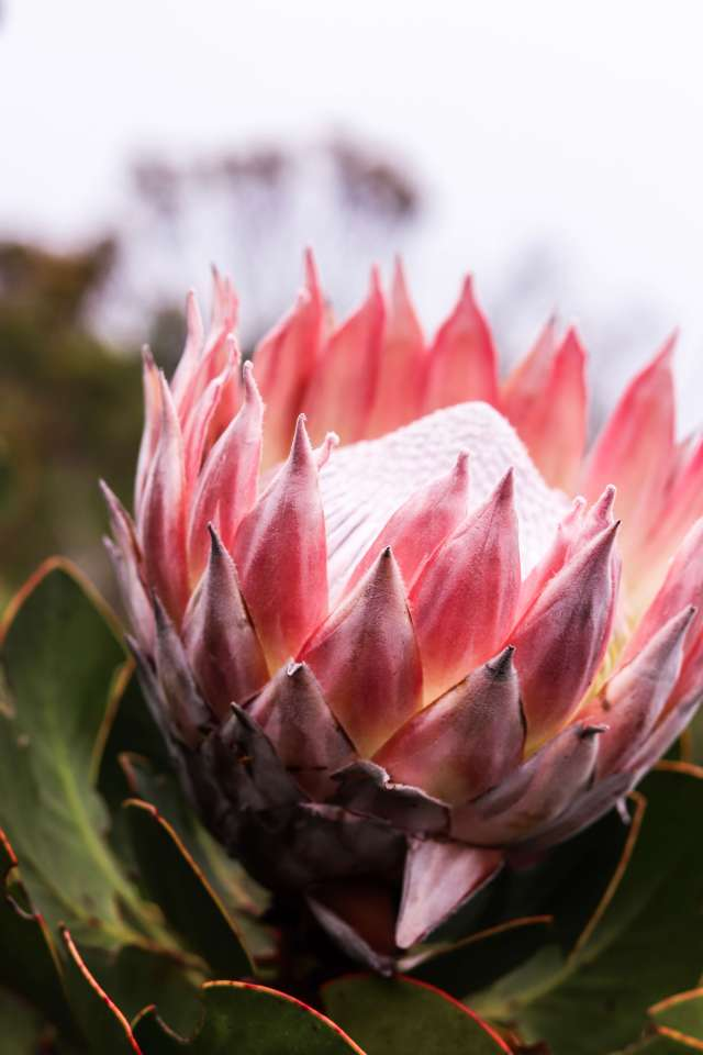 King Protea Table Mounatin