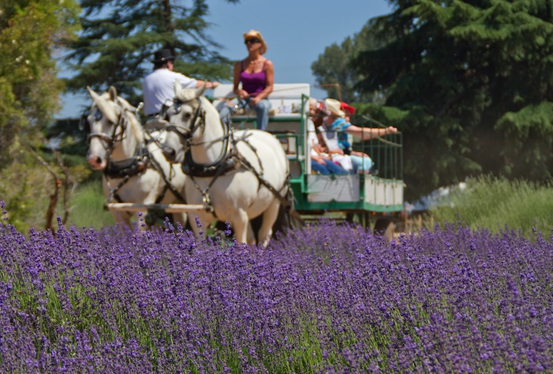 Lavendar-Festival-Beaumont-California