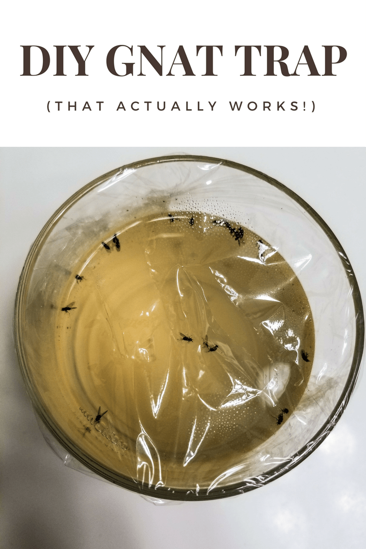 DIY Gnat Trap (that Actually Works