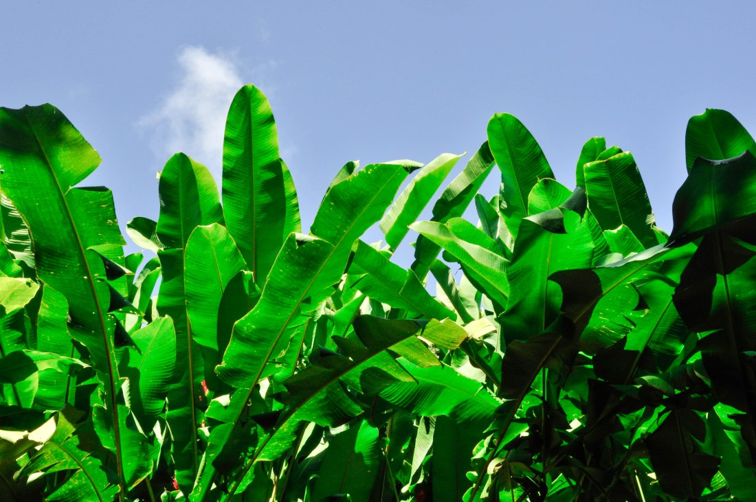 Leaves-In-Maui