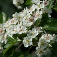 Hawthorn - bride of the hedgerow
