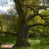 The Birnam Oak:  in the presence of greatness