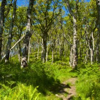 The ancient oak woods of Taynish