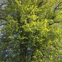 Lime trees - May