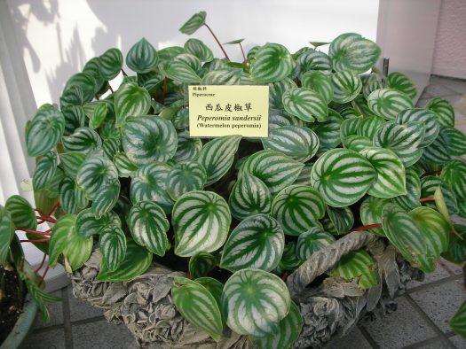 peperomia houseplant image