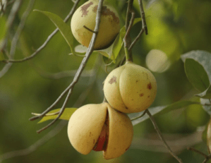 Jaiphal Nutmeg- Benefits, uses, properties, side effects