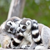 ring-tailed-lemurs hugs_fk3Td8Kd