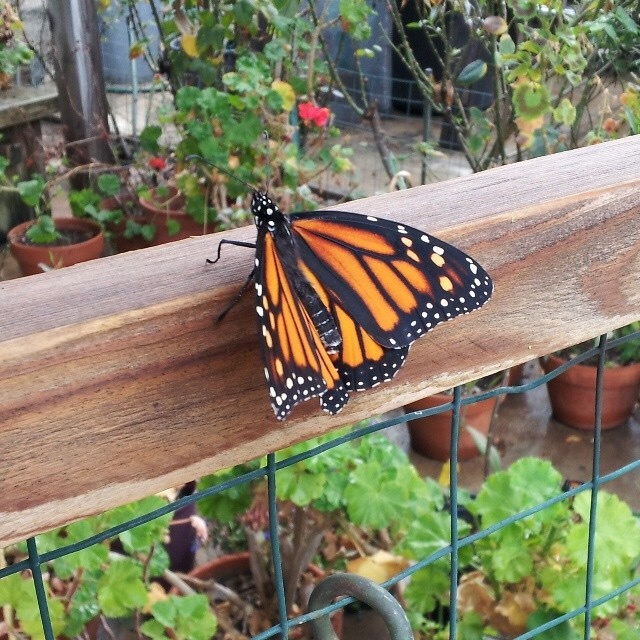 A monarch butterfly in my grandpa's garden--what did I tell you? Magical!