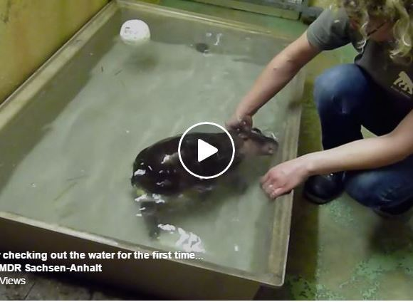 Watch This Baby Pygmy Hippo Play In Water For The First Time