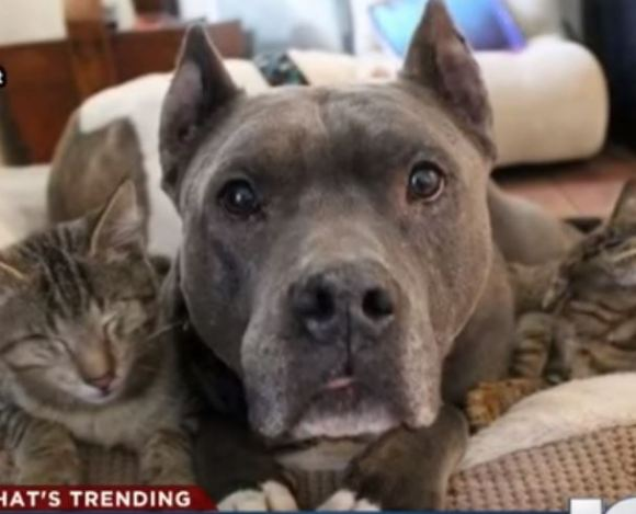 Rescue Pit Bulls Become 'Surrogate Mothers' To 3 Blind Kittens