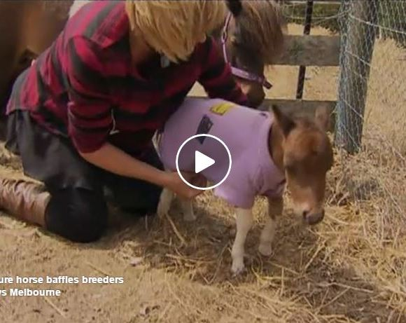 Miniature Horse Born In Australia Could Be The World Record Breaker