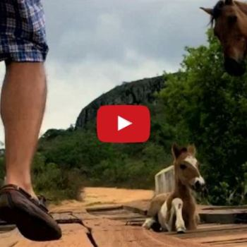 Foal Trapped In A Bridge While Mother Stays By His Side….Then A Man Shows Up And Saves Them!
