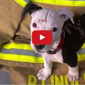 Puppy Rescued From Fire Grows Up To Be The Fire Station Mascot