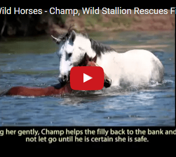 Wild Stallion Rescues Filly From Drowning