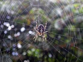 800px-Spider_vdg wikipedia Share-alike license