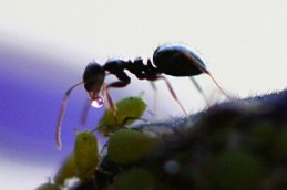 http://en.wikipedia.org/wiki/File:Ant_Receives_Honeydew_from_Aphid.jpg