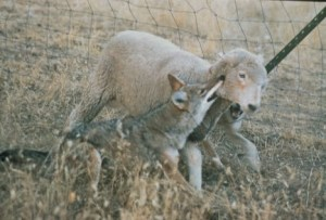 Coyote killing sheep wikipedia public domain