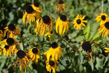 http://commons.wikimedia.org/wiki/File:Rudbeckia_fulgida_during_the_Summer_heat.JPG