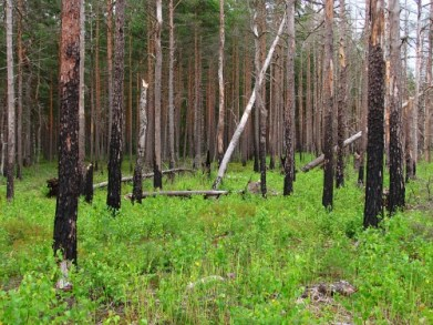 http://commons.wikimedia.org/wiki/File:Boreal_pine_forest_5_years_after_fire,_2011-07.jpg