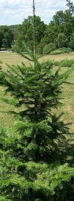 http://commons.wikimedia.org/wiki/File:Abies_nephrolepis.jpg