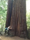 http://commons.wikimedia.org/wiki/File:A_thousand_year_old_redwood_tree_2013-04-9_22-54.jpg