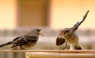 http://commons.wikimedia.org/wiki/File:Mocking_Bird_Argument.jpg