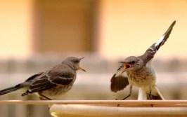 http://commons.wikimedia.org/wiki/File:Mocking_Bird_Argument.jpg