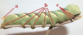http://commons.wikimedia.org/wiki/File:Caterpillar_pseudopodia.jpg
