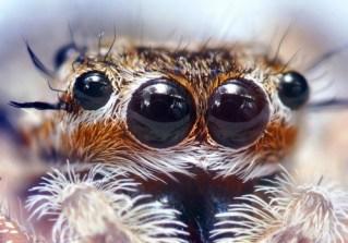 http://en.wikipedia.org/wiki/File:Jumping_Spider_Eyes.jpg