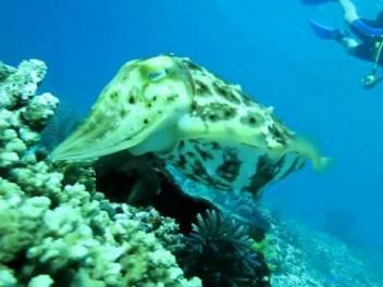 Cuttlefish.ogv - Wikipedia - Share-alike License