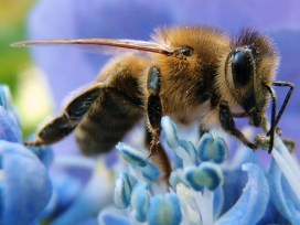 http://commons.wikimedia.org/wiki/File:Western_honey_bee.jpg