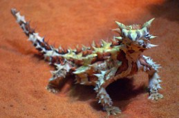 http://commons.wikimedia.org/wiki/File:A232,_Alice_Springs_Desert_Park,_Alice_Springs,_Australia,_thorny_devil,_2007.JPG