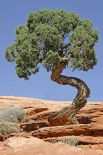 http://de.wikipedia.org/wiki/Datei:Tree_Canyonlands_National_Park.jpg