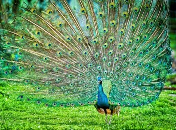 https://commons.wikimedia.org/wiki/File:Peacock_by_Nihal_Jabin.jpg