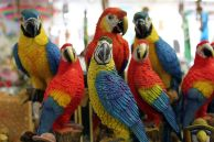 Sentinal Parrots - Wikimedia - Creative Commons Attribution 2.0 Generic license.