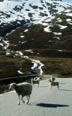 http://commons.wikimedia.org/wiki/File:Aurlandsveien_sheep.jpg