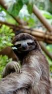 http://commons.wikimedia.org/wiki/File:SlothDWA.jpg