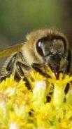 http://en.wikipedia.org/wiki/File:Bee_on_-calyx_935.jpg