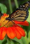 https://commons.wikimedia.org/wiki/File:Butterflies_UFmuseum.jpg